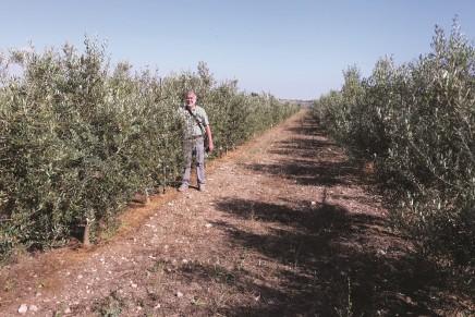 Oliveti siciliani, come coniugare tipicità e produttività