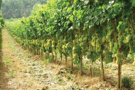 Impianti viticoli al via in ritardo