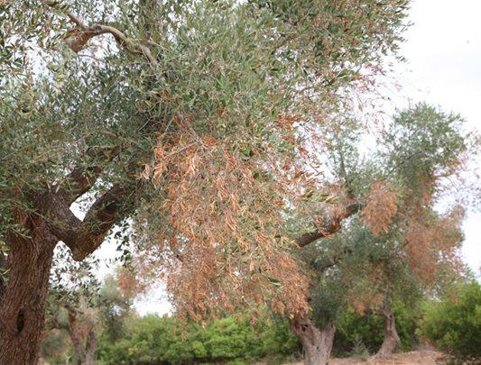 Disseccamenti causati da Xylella fastidiosa subsp pauca ceppo Codiro