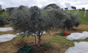 reti contro la mosca dell'olivo