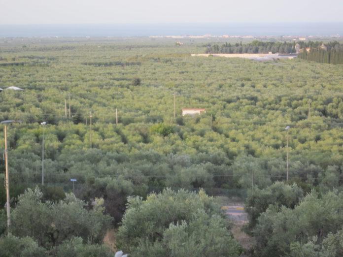Piano olivicolo nazionale