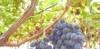 uva da tavola a bacca nera