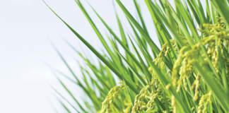 dazi sul riso