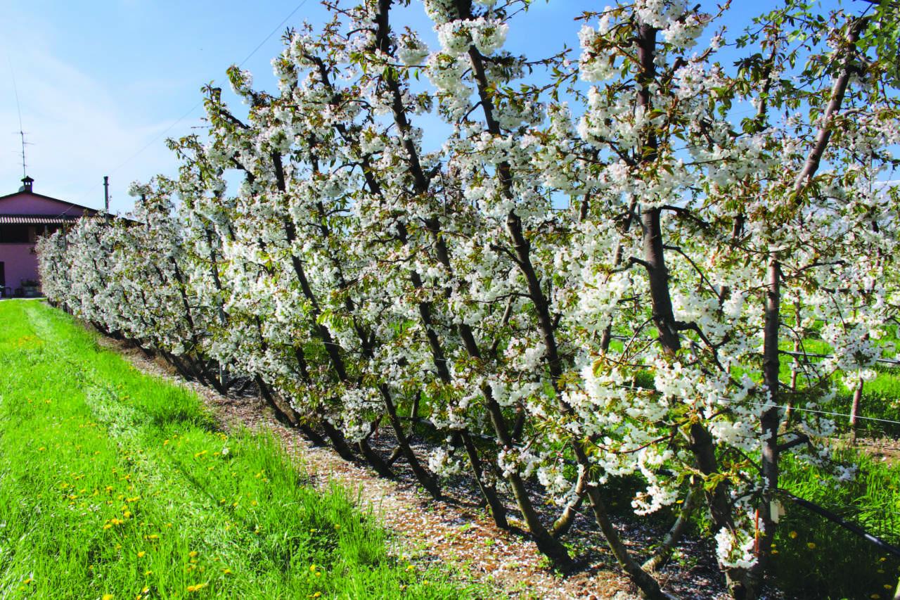 Ciliegio buone opportunit per frutticoltori specializzati for Pianta di ciliegio
