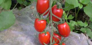 pomodori biologici datterino