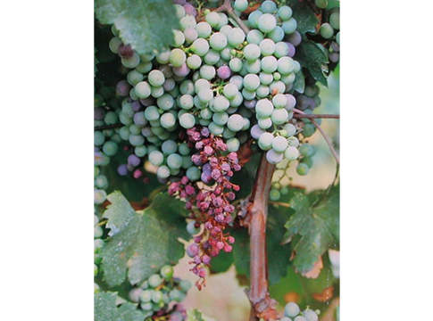 disseccamento del rachide su uva