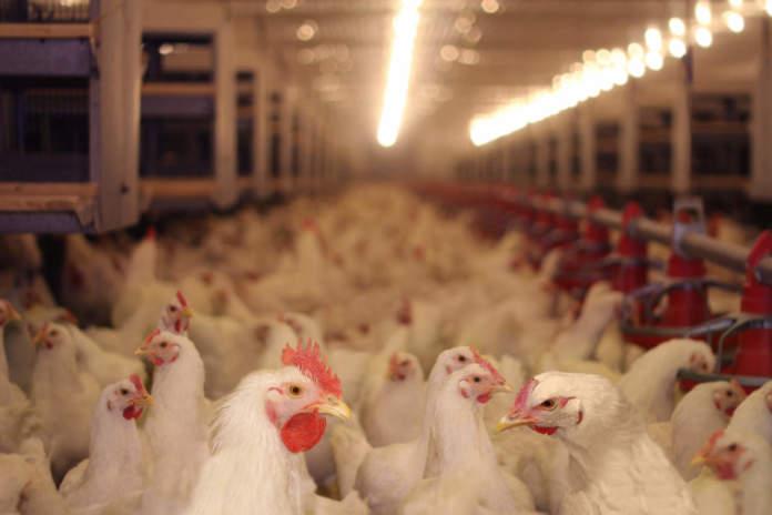 settore avicolo