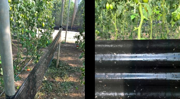 difesa del pomodoro con roll black