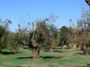 reimpianti di olivi in puglia