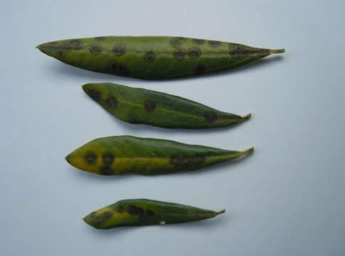 occhio di pavone su fogliedi olive