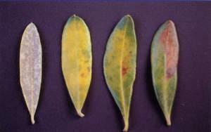 Foglie di olivo colpite da piombatura