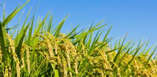 pac 2019 prezzi riso