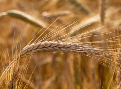 filiera grano