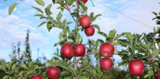 cultivar di melo