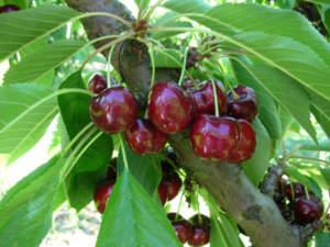 cultivar di ciliegio