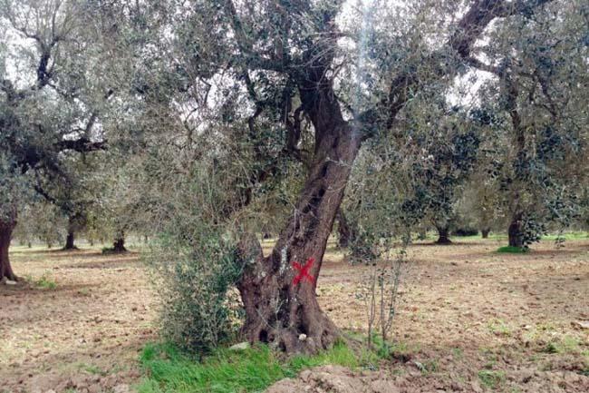 xylella fastidiosa su olivo