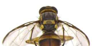 mosca orientale della frutta