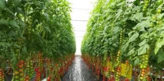 pomodoro ciliegino mandello