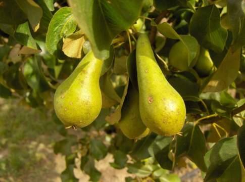 concimazione dei fruttiferi