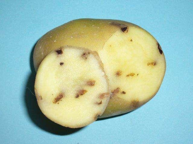 tignola della patata