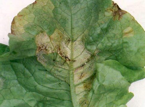 foglia di lattuga attaccata da peronospora e marciume