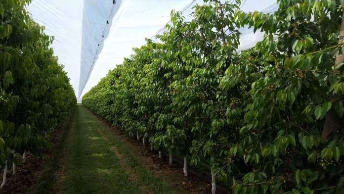 sistema protecta per ciliegio