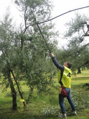 Nova oliveto
