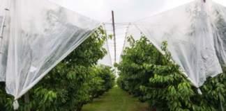 ciliegio allevato in serra