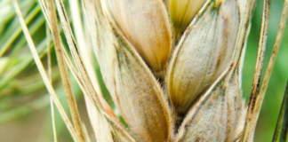 fusariosi della spiga di frumento