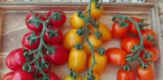 pomodori plum di isi sementi