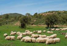 decreto emergenza e latte ovino