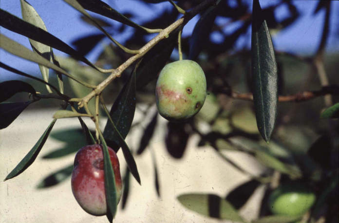 mosca delle olive