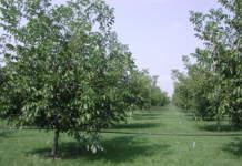 nocicoltura da frutto