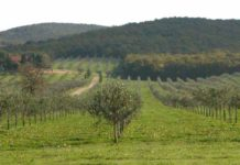 irrigazione a goccia in oliveto