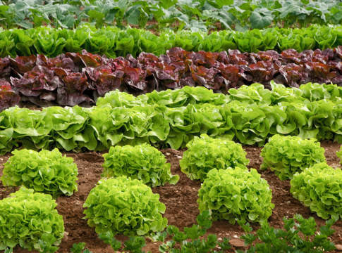 lattuga salanova