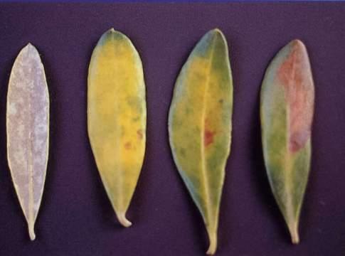 cercospora su olivo