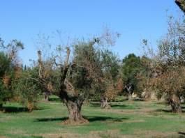 Calendario Trattamenti Olivo Puglia.Maggio Primo Trattamento Insetticida Su Olivo Contro I