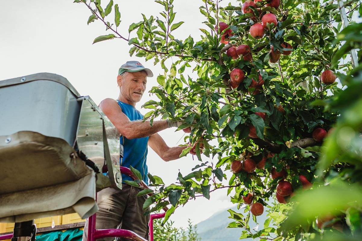 raccolta mele gala di bio_val venosta