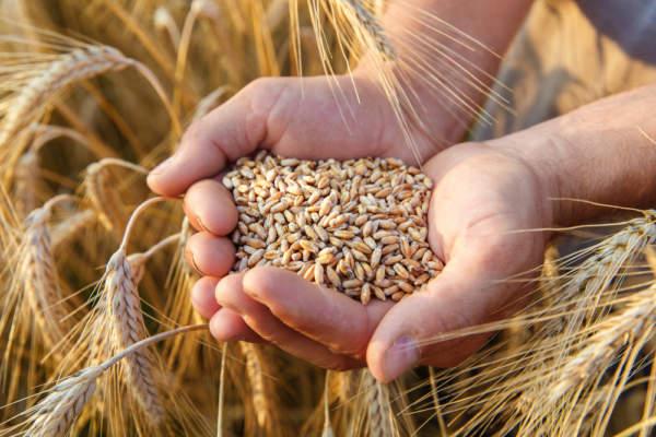 filiera grano-pasta