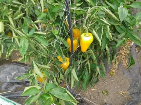 miglioramento genetico in orticoltura
