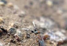 parassitoide Anagyrus comstoki