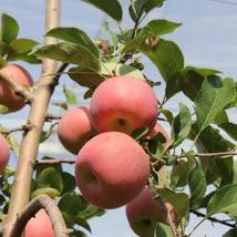 mela progetto Candine