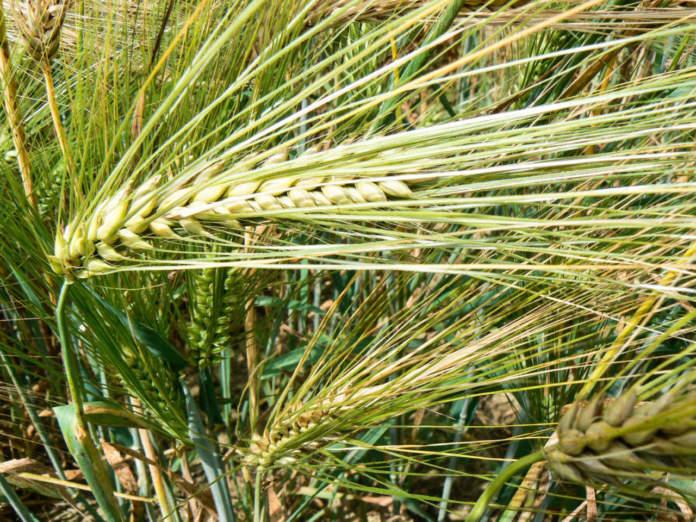 sementi cereali rv venturoli