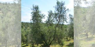 potatura olivo vaso policonico