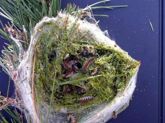 nido di Thaumatopoea