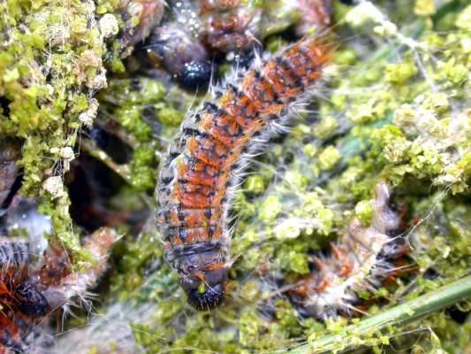 Larva matura di Thaumatopoea