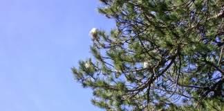 processionaria del pino