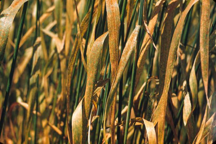 ruggine gialla su grano