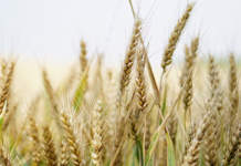 cereali foraggeri