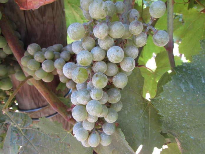 oidiosu grappolo di vite Chardonnay